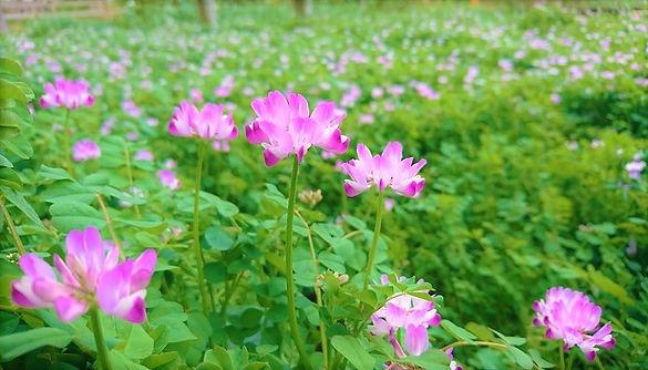 れんげの花21.jpg