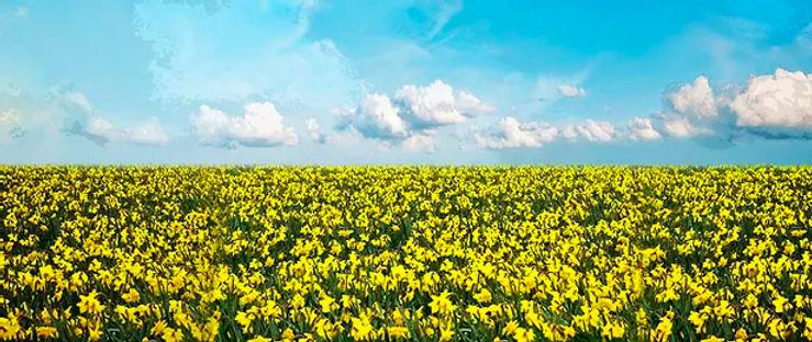 D201 Daffodil Field 17' x 40' .jpg