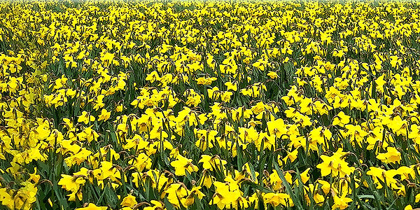 Daffodil 4_ x 8 small_.jpg