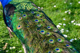 Perry the Peacock