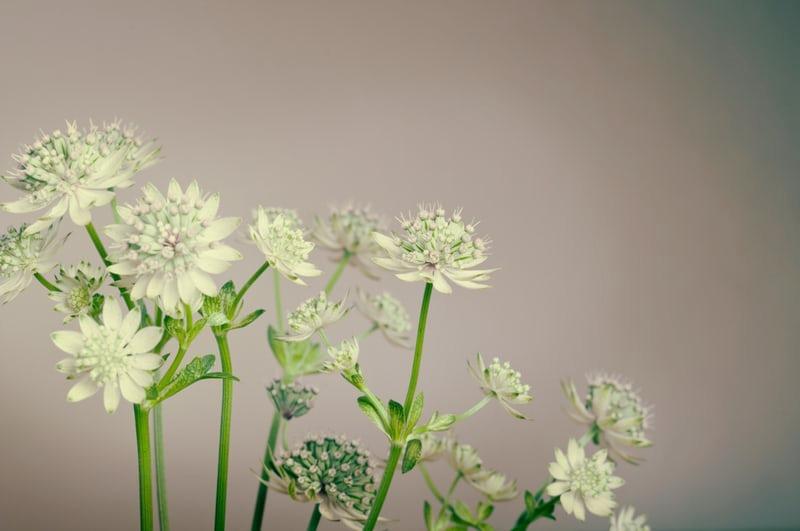 white flowers_edited