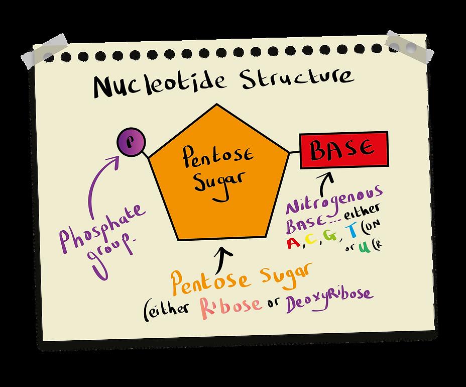 Nucleotide Structure (A-Level Biology)