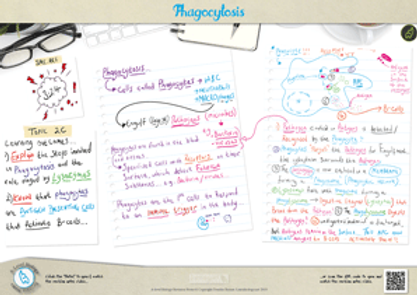Phagocytosis A3 Poster PDF for A Level Biology