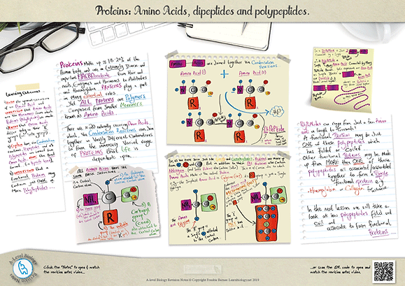 A-Level biology Proteins: Amino Acids Structure, Dipeptides and Polypeptides Revision Notes Poster A3 PDF.