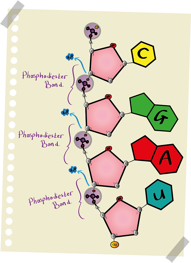 polynucleotide.png