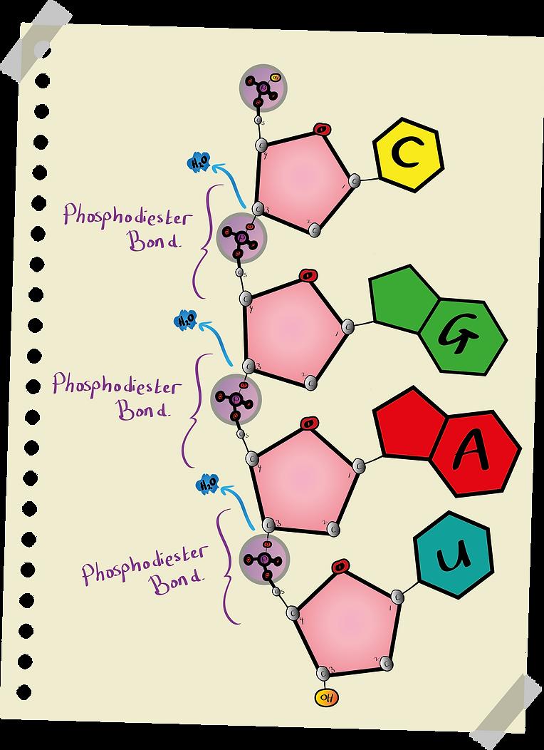 Polynucleotide showing phosphodiester bonds (A-Level Biology)