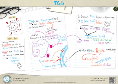 The Role of T-Cells in the immune system response A3 Poster PDF for A Level Biology