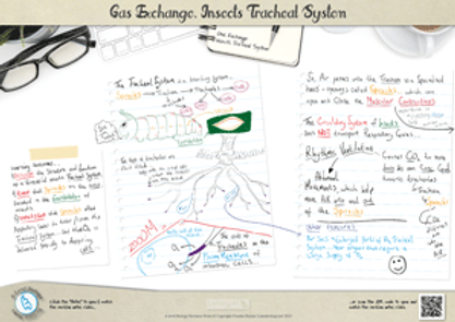 Gas Exchange in insects: The insect tracheal system A3 Poster PDF for A Level Biology