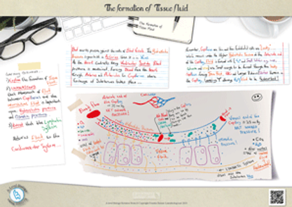 The Formation of Tissue Fluid for a-level biology revision notes Poster A3 PDF