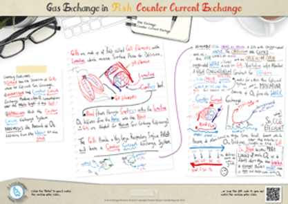 Gas exchange in Fish The counter current exchange principle A3 Poster PDF for A Level Biology