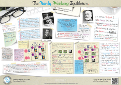 The Hardy-Weinberg Equilibrium A3 Poster PDF for A Level Biology