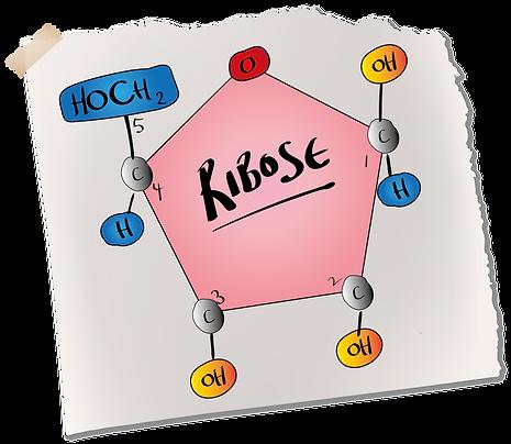 Ribose Sugar (A-Level Biology)