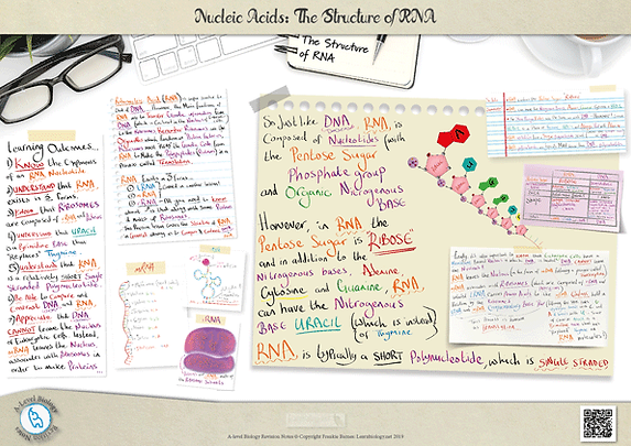 A Level biology: Nucleic Acids - The Structure of RNA (mRNA, tRNA and rRNA) Revision Notes Poster A3 PDF