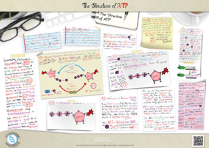A Level biology: Adenosine Triphosphate: The Structure of ATP, The ATP-ADP Cycle and the Important properties of ATP Revision Notes Poster A3 PDF