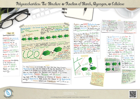 A-Level Biology: Polysaccharides: The Structure and Function of Starch, Glycogen and Cellulose Revision Notes Poster A3 PDF