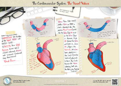The Heart Valves - The Heart structure and function for a-level biology revision notes Poster A3 PDF
