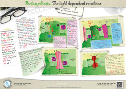 Photosynthesis: the light dependent reactions of photosynthesis A3 Poster PDF for A Level Biology