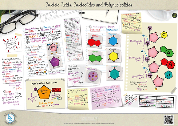 A Level Biology: Nucleic Acids - Nucleotides and Polynucleotides Revision Notes Poster A3 PDF
