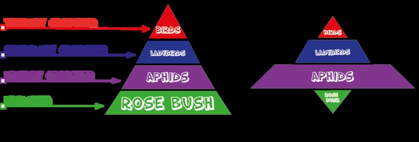 Pyramid of Biomass - Learnbiology.net