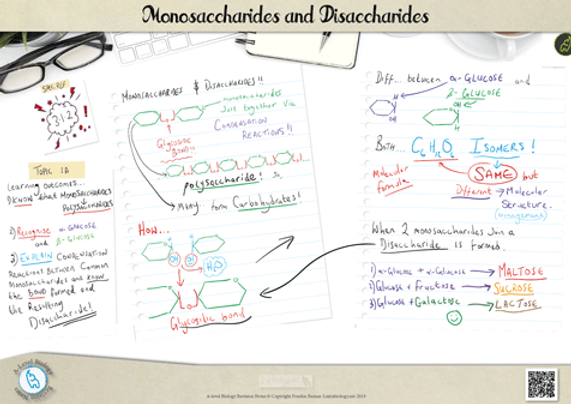 A Level Biology Monosaccharides and disaccharides Revision Notes Poster A3 PDF