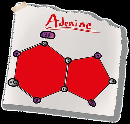 Adenine Nitrogenous Base (A-Level Biology) Purine Bases