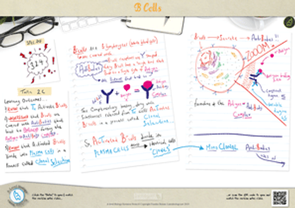 The Role of B-Cells in the Immune System Response A3 Poster PDF for A Level Biology