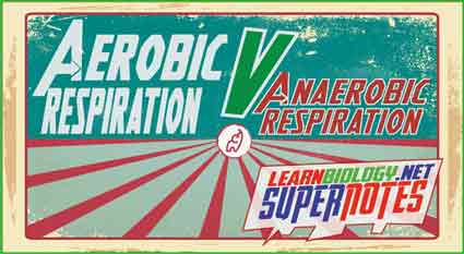 Aerobic_V_Anaerobic_Respiration_Supernot