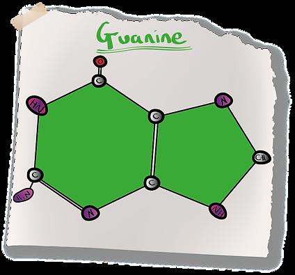 Guanine Nitrogenous Base (A-Level Biology) Purine Bases