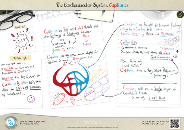 Capillaries structure and function for a-level biology revision notes Poster A3 PDF