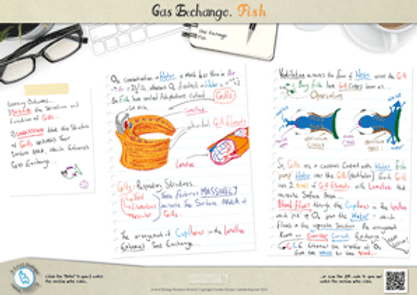 Gas exchange in Fish The Structure and Function of Gills A3 Poster PDF for A Level Biology