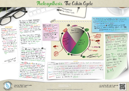 Photosynthesis: the light independent reactions of photosynthesis - The Calvin Cycle A3 Poster PDF for A Level Biology
