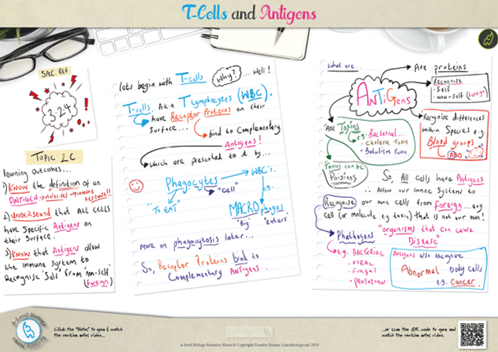 T-Cells and Antigens A3 Poster PDF for A Level Biology
