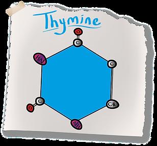 Thymine Nitrogenous Base (A-Level Biology) Pyrimadine Bases