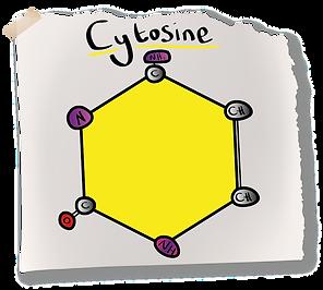 Cytosine Nitrogenous Base (A-Level Biology) Pyrimadine Bases