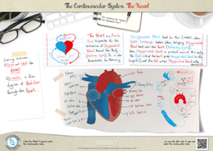 The Heart structure and function for a-level biology revision notes Poster A3 PDF