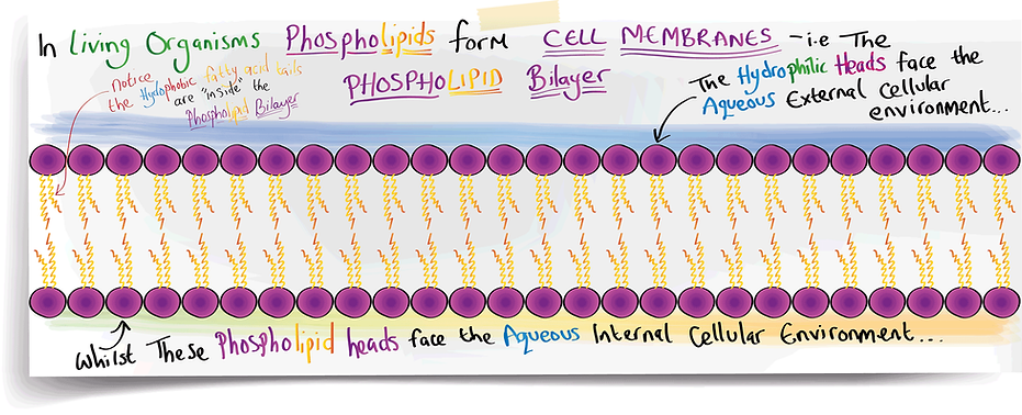 In Living Organisms Phospholipids form Cell Membranes