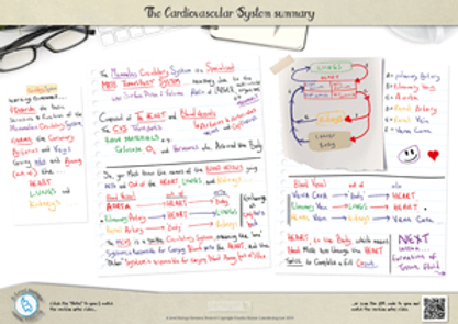 a-level biology cardiovascular system summary revision notes A3 Poster PDF