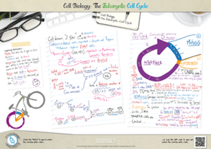 52.-Cell-Cycle-A3-Poster.png