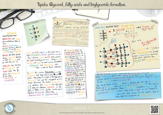 A-Level biology lipids triglycerides structure and formation Revision Notes Poster A3 PDF.