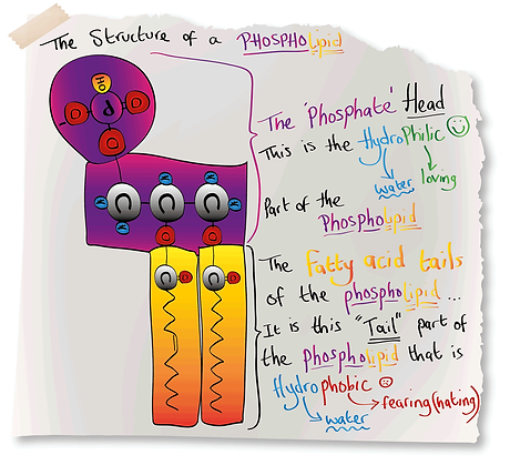 The Structure of a Phospholipid (A-Level Biology)