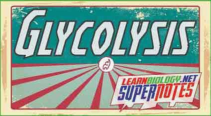 Glycolysis---Supernotes---Thumbnail---Yo
