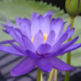 water-lily-2287726_1920_edited.jpg