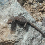mountain lizard.jpg