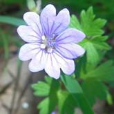 High Atlas geranium.jpg