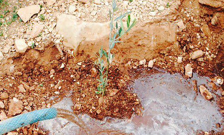 Watering the olive saplings