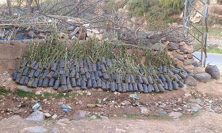 sapling olive trees
