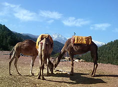 Camel rides on our one day trip to Ourika Valley