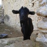goat essaouira coast.jpg