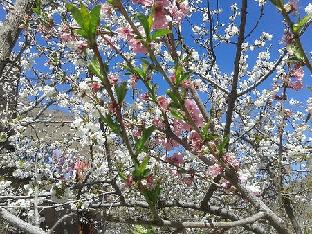 Cherry blossom in the High Atlas