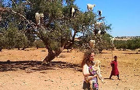 The goats that climb the Argan trees on the way to Essaouira